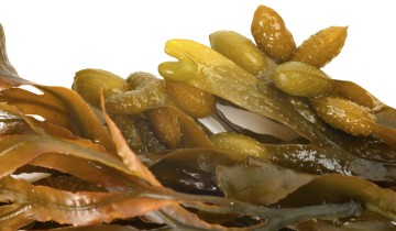 Liquid seaweed biostimulant fertiliser supplier