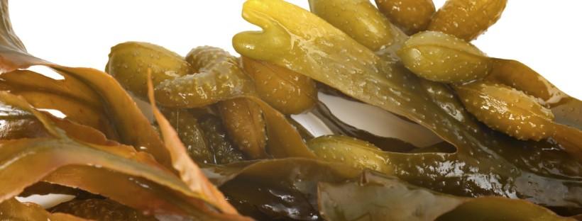 Liquid seaweed biostimulant fertiliser supplier