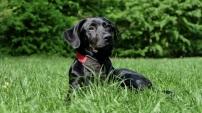 dog-black-labrador-black-dog-162149