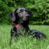 dog-black-labrador-black-dog-162149